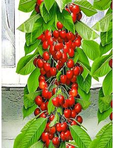 Колоновидная черешня Красная помада в Балашихе