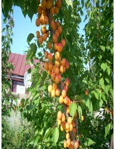 Колоновидный абрикос Первайс в Балашихе
