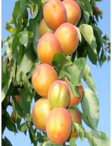 Колоновидный абрикос Радости жизни в Балашихе