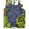 Виноград Викинг в Балашихе