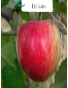 Яблоня Деликатес в Балашихе