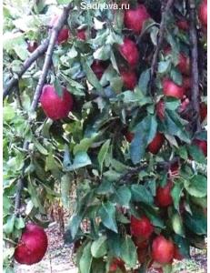 Яблоня Рихард в Балашихе
