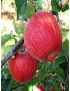 Яблоня Гала Галакси в Балашихе
