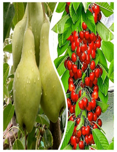 Комплект из 2-х сортов в Балашихе - Колоновидная груша Видная + Колоновидная черешня Красная помада