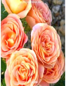 Роза Экзотика в Балашихе