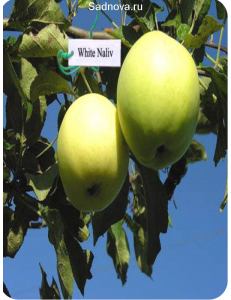 Яблоня Белый Налив в Балашихе
