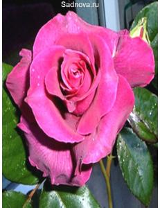 Роза Биг Парпл в Балашихе