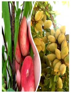 Комплект из 2-х сортов в Балашихе - Миндаль Нонпарель + Инжирный персик Маршмеллоу