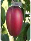 Яблоня Глостер в Балашихе