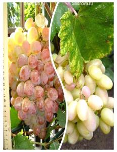 Комплект из 2-х сортов в Балашихе - Виноград Преображение + Виноград Фламинго