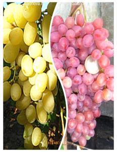 Комплект из 2-х сортов в Балашихе - Виноград Велес + Виноград Ландыш