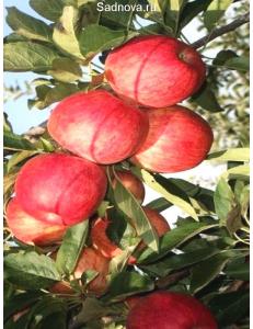 Яблоня Книп-Баум Галла Мондиал в Балашихе