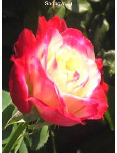 Роза Дабл Дилайт в Балашихе