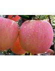 Яблоня Фуджи в Балашихе