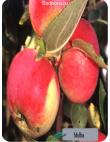 Яблоня Мельба в Балашихе