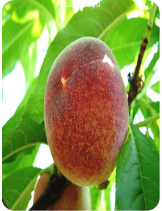 Персик Красная Девица в Балашихе