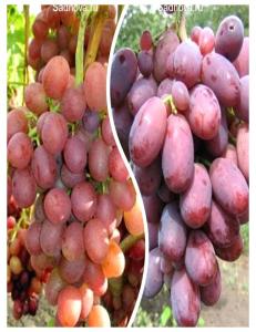 Комплект из 2-х сортов в Балашихе - Виноград Ливия + Виноград Шахиня Ирана