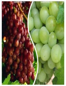Комплект из 2-х сортов в Балашихе - Виноград Граф Монте Кристо + Виноград Александрит