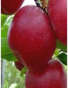 Яблоня Джонатан в Балашихе