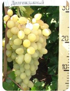 Виноград Долгожданный в Балашихе