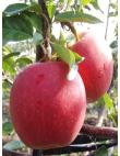 Яблоня Гала Маст в Балашихе