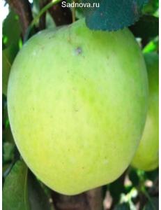 Яблоня Гринсливз в Балашихе