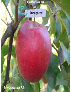 Яблоня Джонагоред в Балашихе