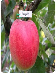Яблоня Джонаголд в Балашихе