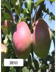 Яблоня Лигольд в Балашихе