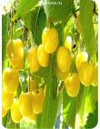 Черешня Дрогана Желтая в Балашихе