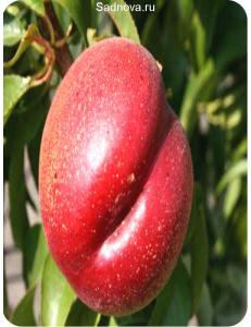 Нектарин Рубиновый №7 в Балашихе