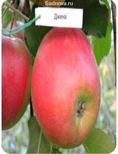 Яблоня Джина в Балашихе