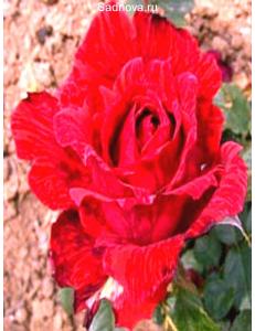 Роза Ред Интуишн в Балашихе