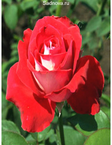 Роза Луксор в Балашихе