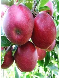 Яблоня Книп-Баум Ред Джонапринц в Балашихе