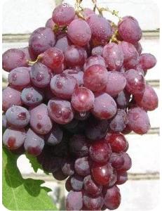 Виноград Гелиос в Балашихе