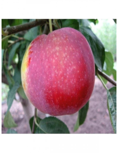 Яблоня Виста Белла в Балашихе