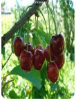 Черешня Крупноплодная в Балашихе