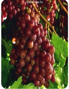 Виноград Граф Монте Кристо в Балашихе