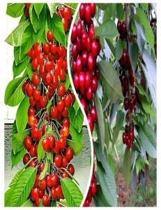 Комплект из 2-х сортов в Балашихе - Колоновидная черешня Красная помада + Колоновидная черешня Квин Мери