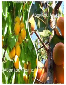 Комплект из 2-х сортов в Балашихе - Абрикос Альфа + Абрикос Фелпс