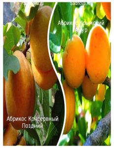 Комплект из 2-х сортов в Балашихе - Абрикос Крымский Амур + Абрикос Консервный Поздний