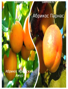 Комплект из 2-х сортов в Балашихе - Абрикос Парнас + Абрикос Крымский Амур
