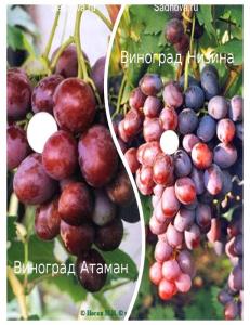 Комплект из 2-х сортов в Балашихе - Виноград Атаман + Виноград Низина