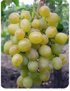 Виноград Восторг в Балашихе